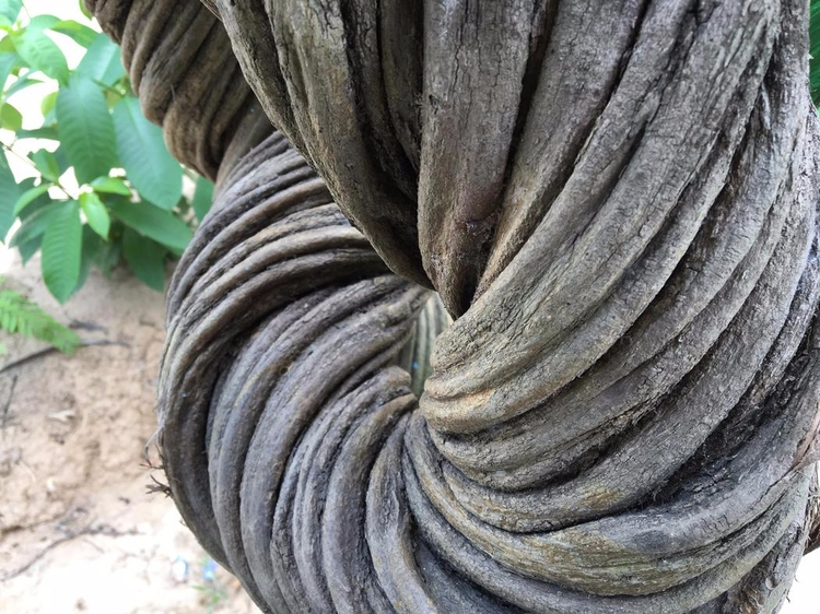 ayahuasca vine forest. Millenni - valosalo | ello