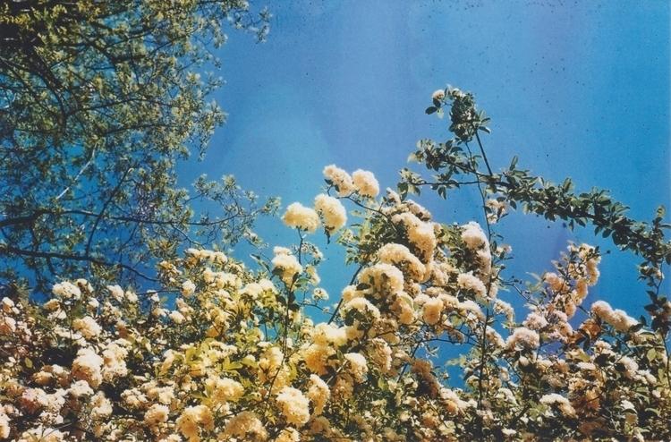 Rosa Banksiae - photographer, photo - acidecabine | ello