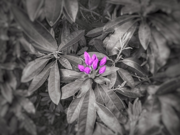 Rhododendron - Ireland, nature - paulbines   ello