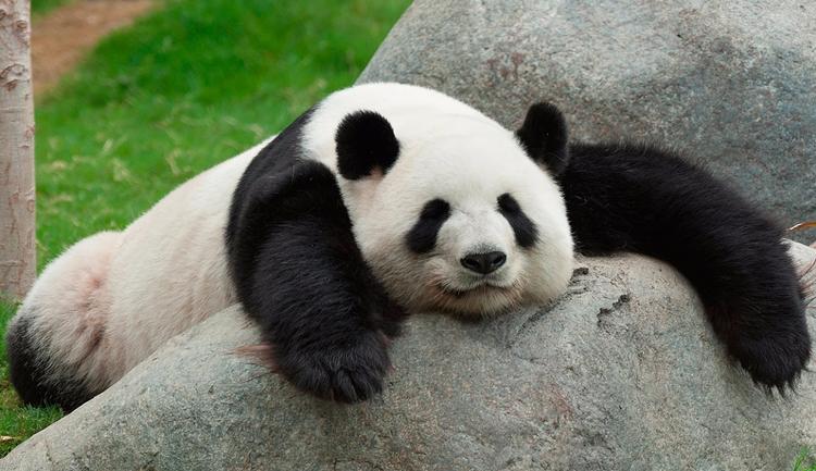 El panda abatido cuando se ha d - raviola-manda-y-no-el-panda | ello
