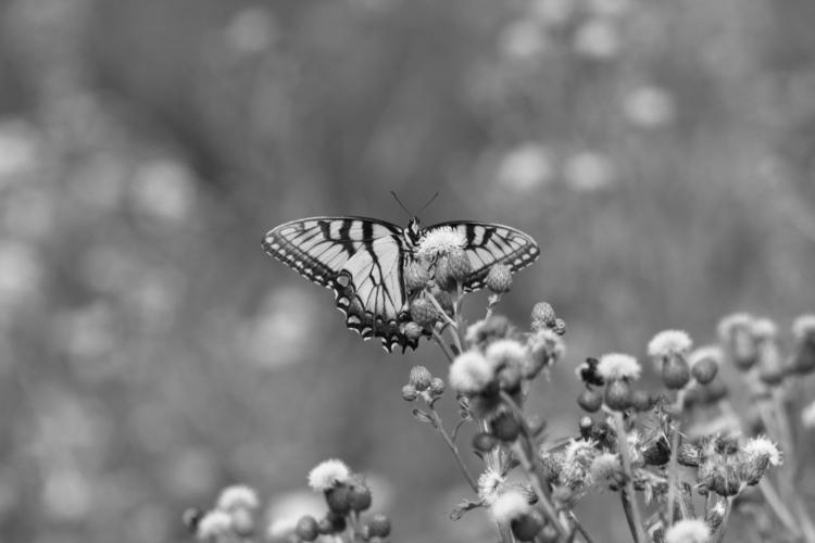 Black Butterfly Photographer: T - tmphotographybaltimoree | ello