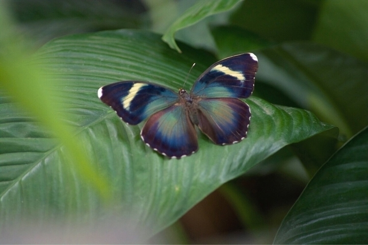 metallic green butterfly, commo - thebutterflybabe | ello