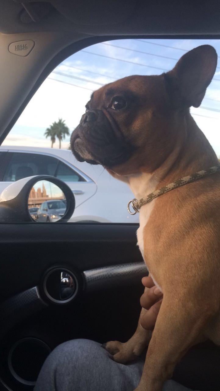Vegas - frenchbulldog - relax562 | ello