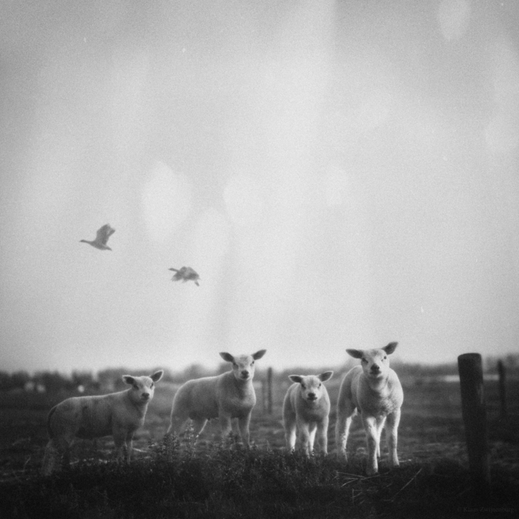 animals, blackandwhite, lambs - klaasphoto | ello
