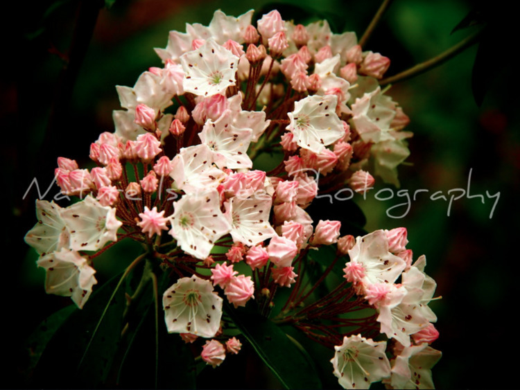 Mountain Laurel blooming....:he - natureisfree | ello