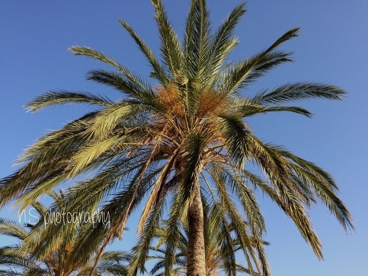 Palm tree - palma, mallorca, balearicIsland - nataliasr81 | ello