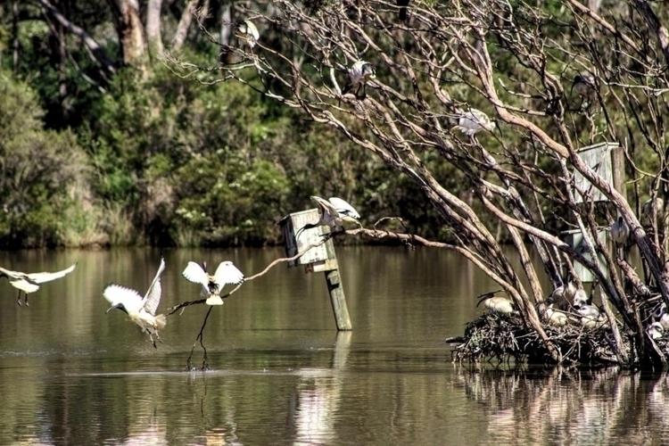 Australian White Ibis 300mm 1/2 - darcynicolson | ello