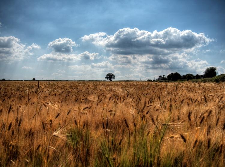 Wheat waving Winchester - field - neilhoward | ello