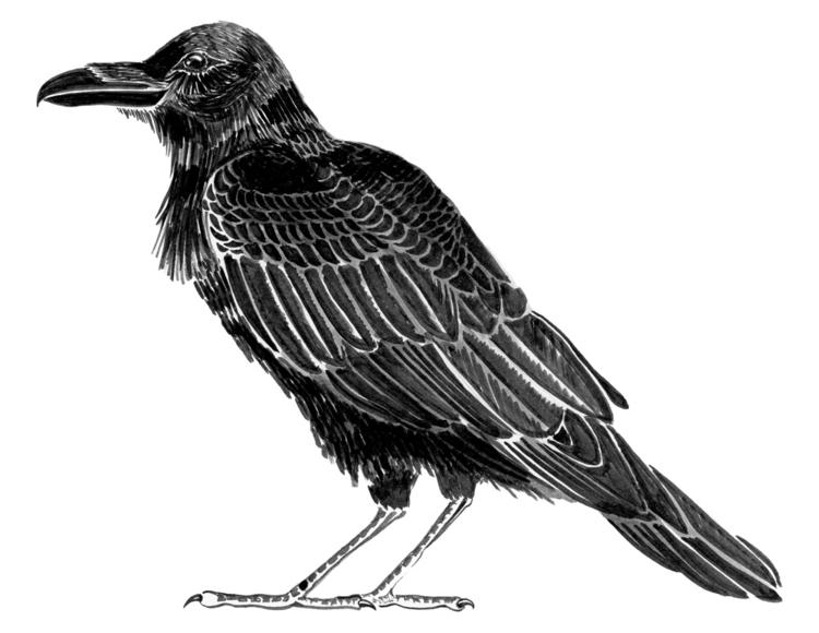 Raven. Brushed ink. 2016 - illustration - evmaeve | ello
