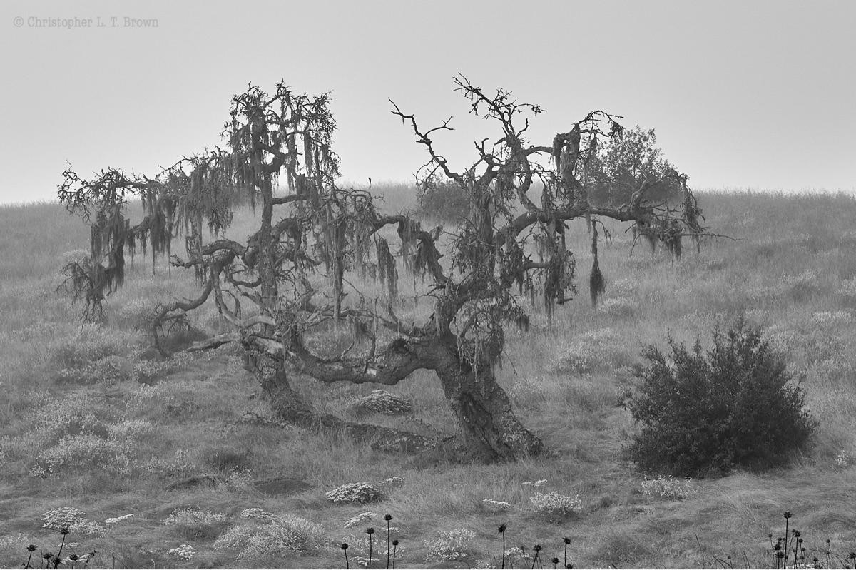Oak tree stood Foxen Canyon Roa - tychobrown | ello