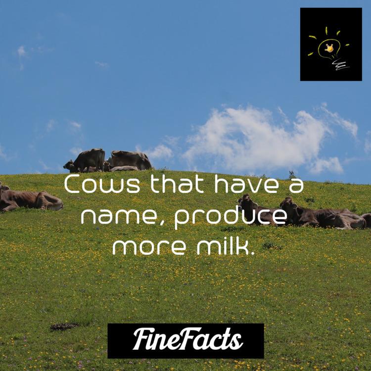Cows produce milk - animals - finefacts | ello
