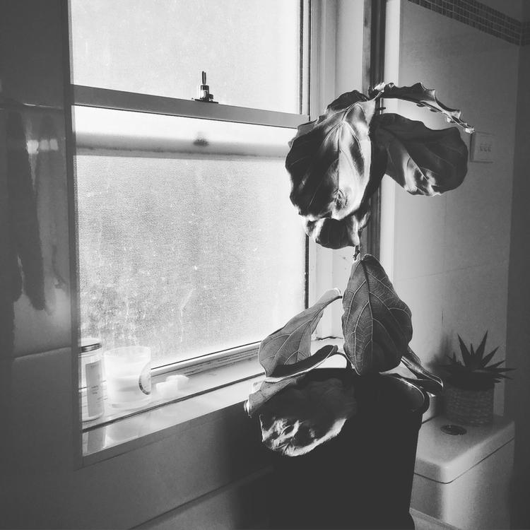 darling Fiddle Leaf Fig. moved  - stephanieash | ello