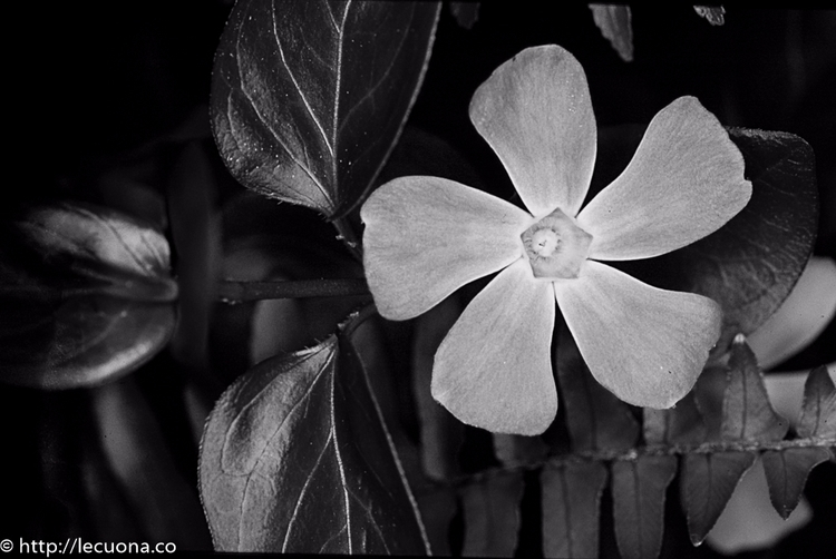 Flower: type flower garden. el  - lecuona | ello