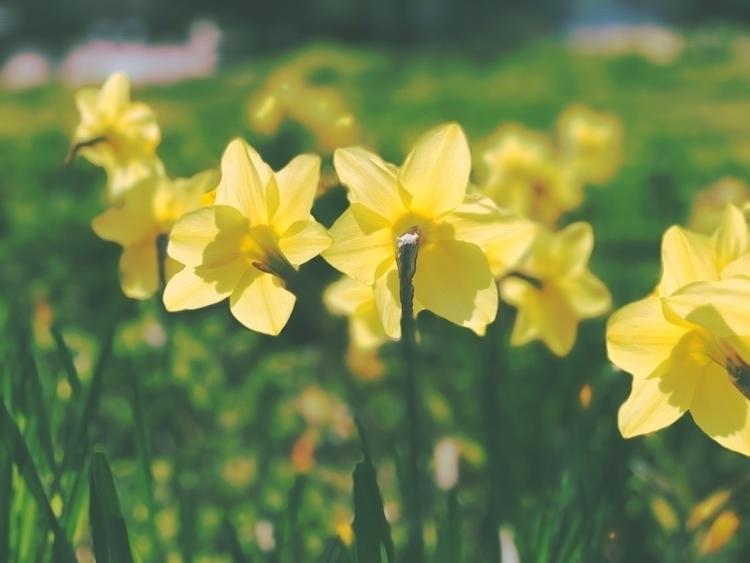 Daffodils - daffodils, flowers, livermore - hollingsworth | ello