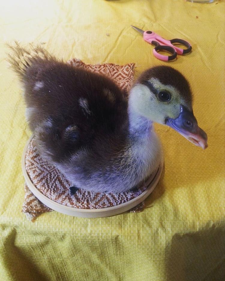 Placida, duckling, sitting embr - valentinacano   ello