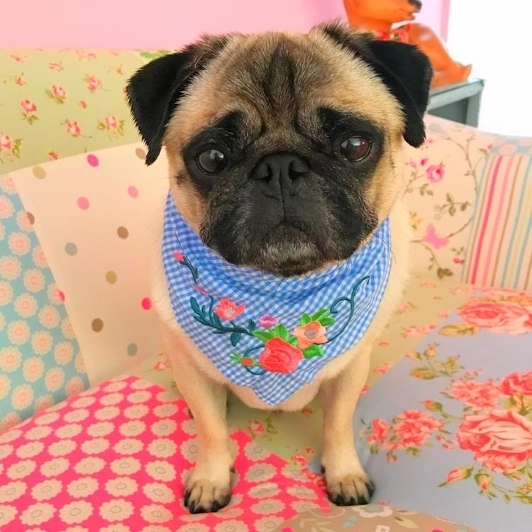 Chester - pug, dogbandana, pugdog - homeiswherethepugis | ello