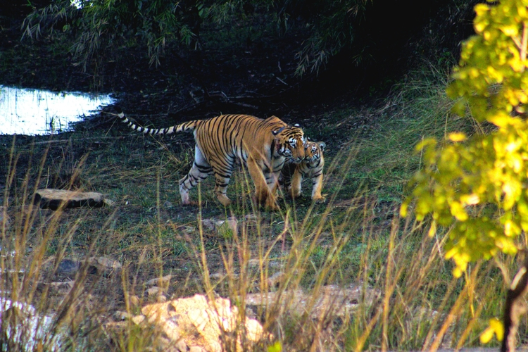 Tigress cub. Wild India - venkatesh4077 | ello