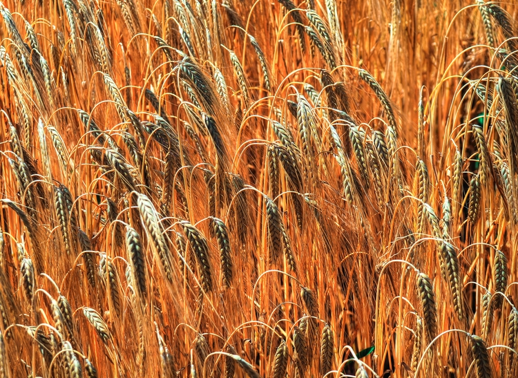wheat - ripening field Winchest - neilhoward | ello