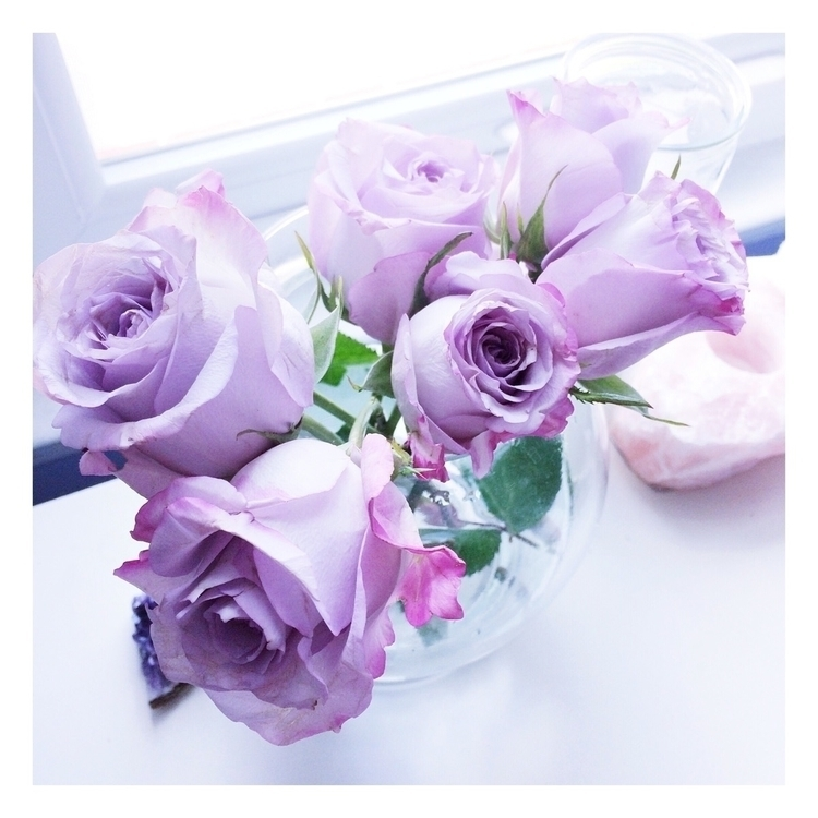 purple roses celebrate return h - berrynadine   ello