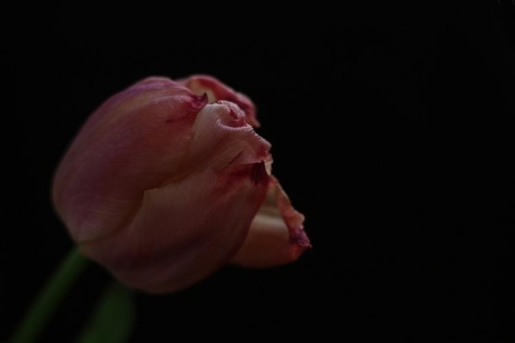 La botanique – Tulipa - photography - clotildeh   ello