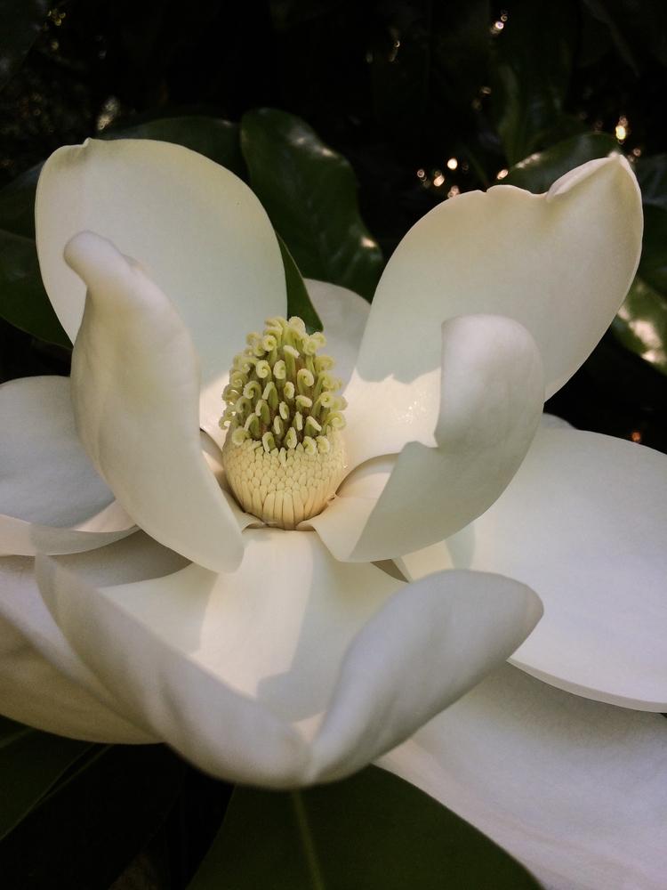 Magnolia Blossom, Washington Pa - jbrennan | ello