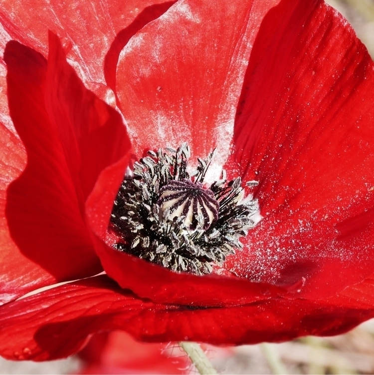Bee candy - poppy, pollen, macro - katemoriarty | ello