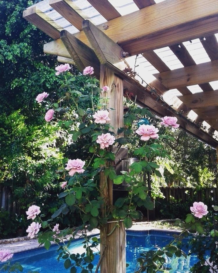 Beauties - nature, flowers, roses - valentinacano | ello