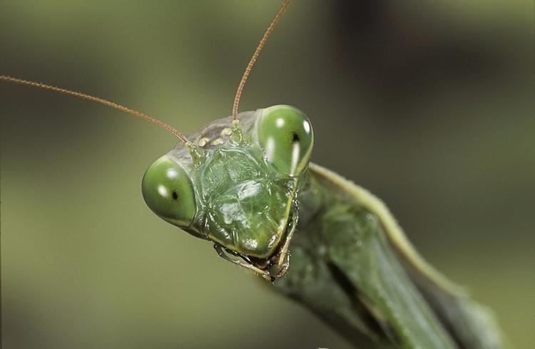 Praying Mantises Devouring Bird - valosalo | ello