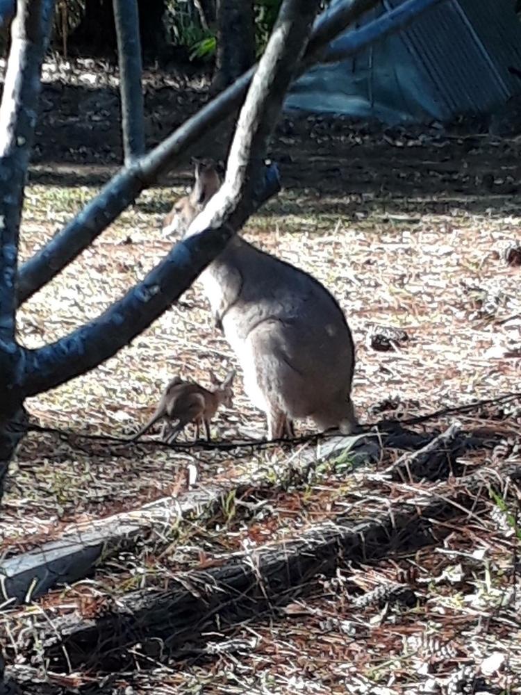 jump yard inOZ  - kangaroo, bush - arnabaartz | ello