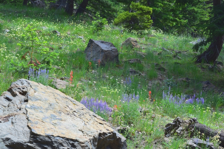 Navaho Pass hike - Wildflowers, Washington - cokes | ello