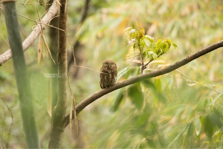 Asian Barred Owlet. Kanchenjung - upamanyu | ello