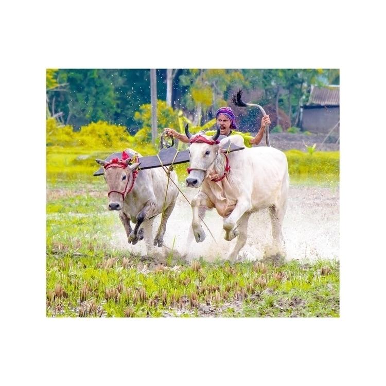 Moichara / Cattle Race Festival - isukantapal | ello