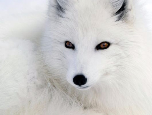 fox, beautiful, snowbeauty, snowfox - alexandria3 | ello