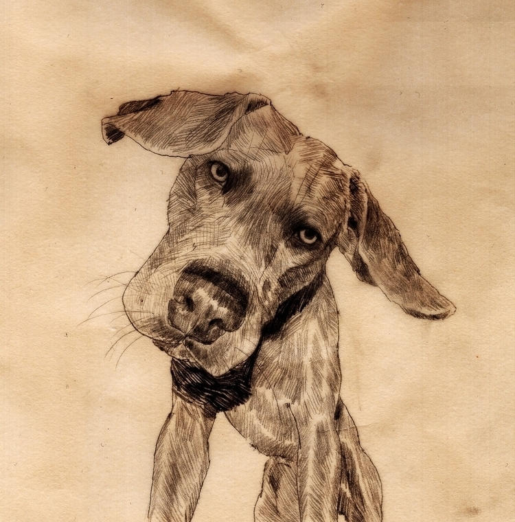 Weimaraner - dog, illustration, drawing - dogscanbark | ello