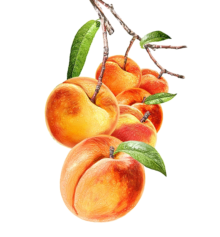 Cameo Peach illustration Farmho - stevevdh   ello