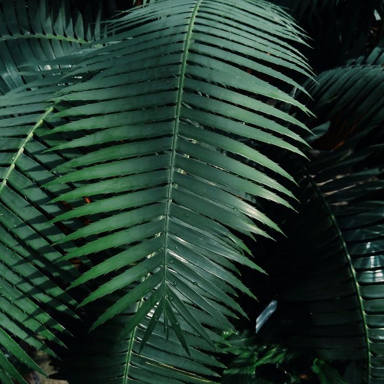 PALM, PALMTREE, PLANTS, BOTANICALGARDEN - sselepohmi | ello