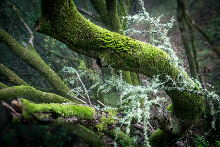 Moss Covered Trees Muir Woods - landscape - toddhphoto | ello