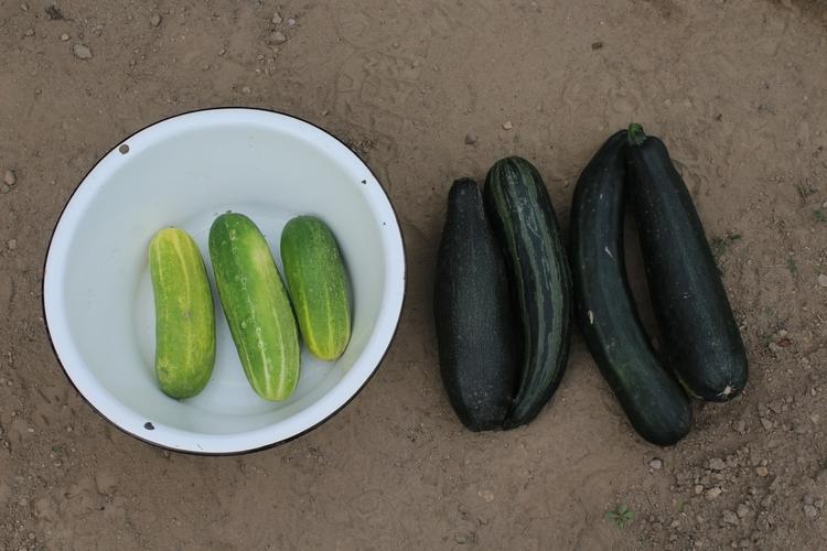 started picking cucumbers seaso - ejfern28 | ello