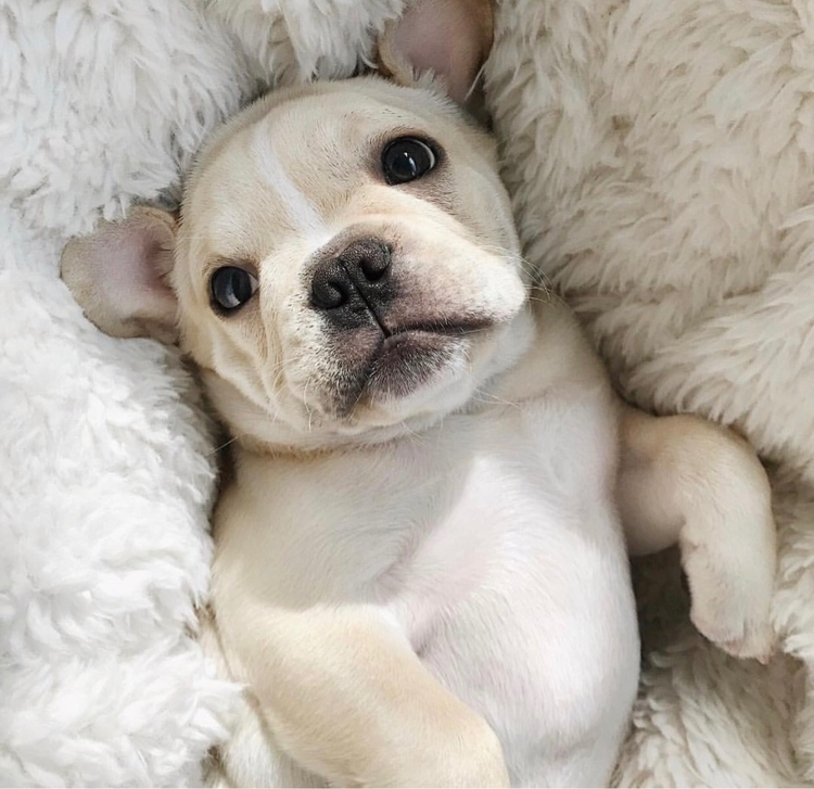 pupsofello, frenchie, puppies - pupsofello | ello