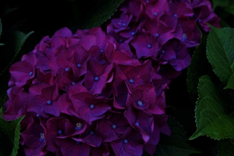 Purple Hydrangea. finished rain - nomadic-sy | ello