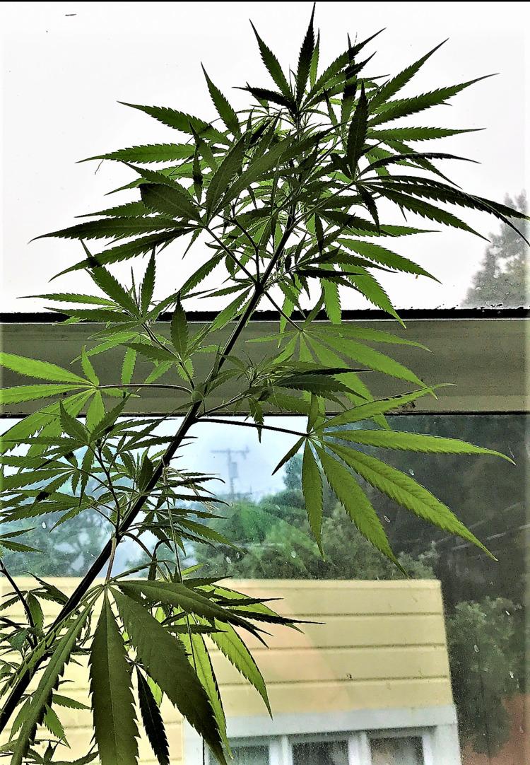 bud San Francisco Summer - cannabis - ellocannabis | ello