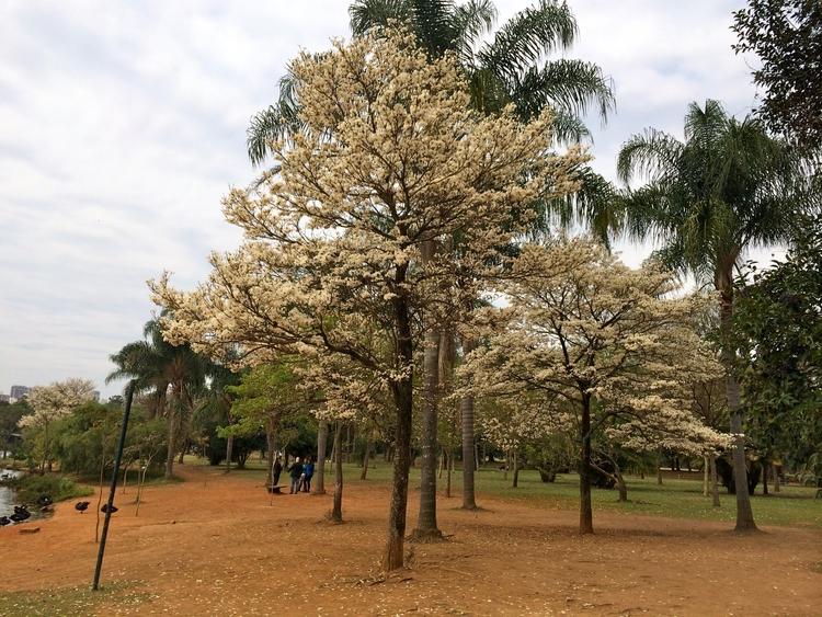 Ipê-branco florido inverno pass - antoniomg   ello