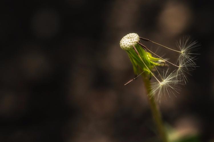 Icarus small Dandelions bluebel - doc | ello
