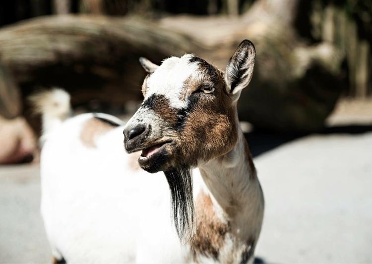 Meet goat refused kids brush lo - brittanymcanally | ello