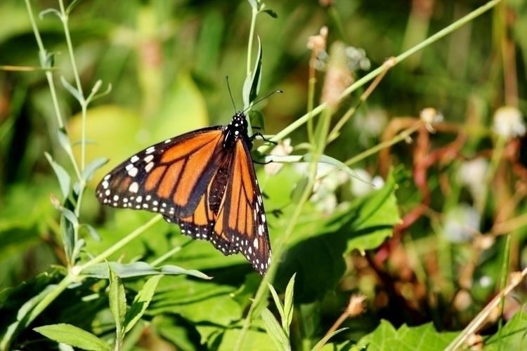 Monarch Butterfly - naturephotography - latasham | ello