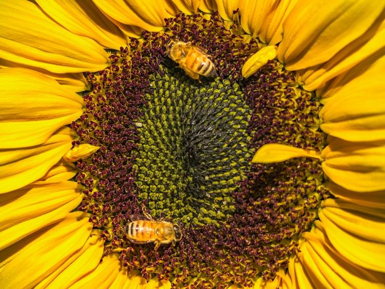Sunflower Bees Testing 600mm le - travischau | ello
