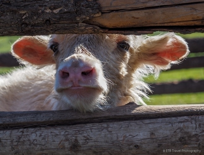 Baby cute - yak, baby, Mongolia - etbtravelphotography | ello