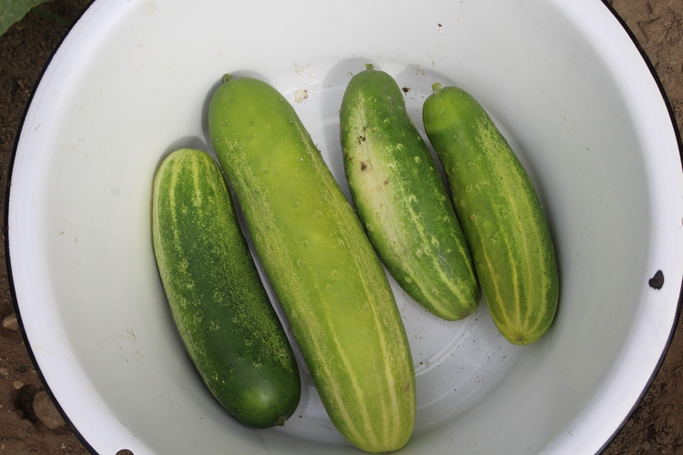 pick cucumbers today ready begi - ejfern28   ello
