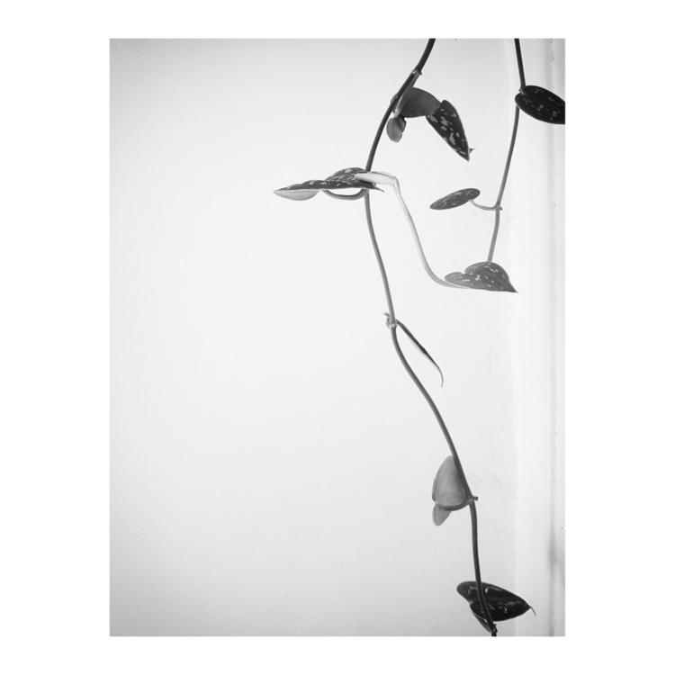 Scindapsus pictus - plant, leaves - a_t_e_l_i_e_r_154 | ello