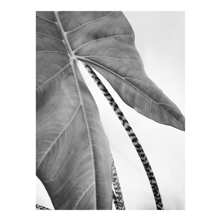 Alocasia zebrina - plant, leaves - a_t_e_l_i_e_r_154 | ello